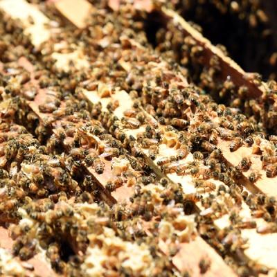 파주 DMZ지역 자연산 100% 밤나무꽃 꿀 1.2kg