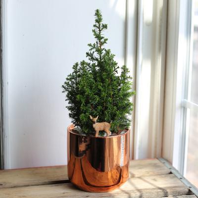 살아있는 미니크리스마스트리식물 excellent point + 메탈릭도자기화분(골드)