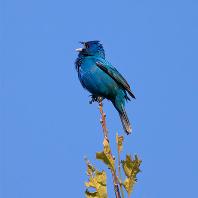 BLUE BIRD [EP]